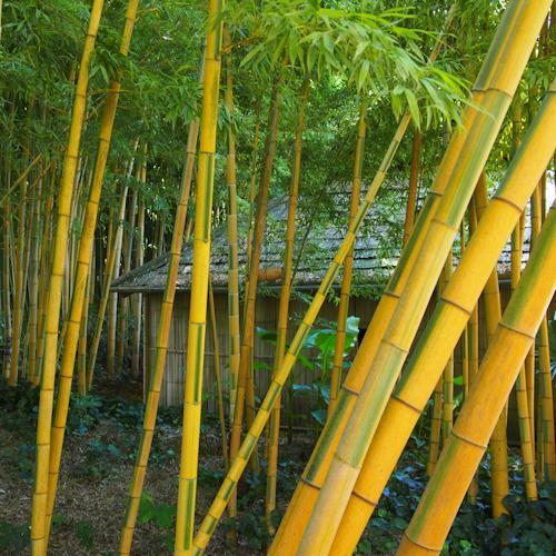 P0061-bambous-jaune