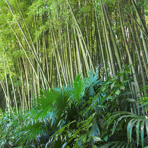 P0061-bambous1