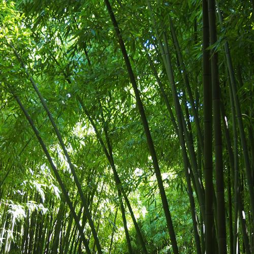 P0061-bambous4