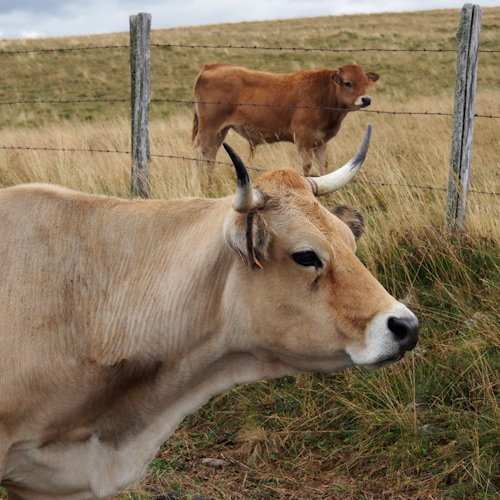 P0063-vache